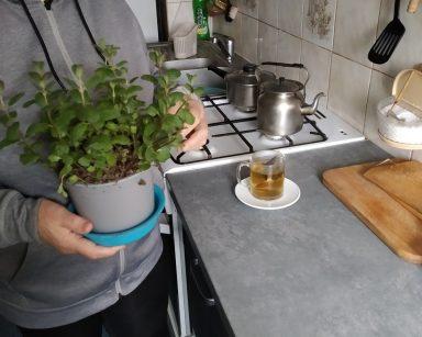 Seniorka – uczestniczka DDP stoi przy blacie kuchennym, na którym stoi zaparzona herbata. W ręku trzyma krzaczek mięty, z którego zrywa listki