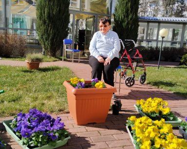 Na patio z czerwonej kostki brukowej stoją brązowe donice z żółtymi i fioletowymi bratkami oraz plastikowe pudełka z sadzonkami bratków. Na środku, na granatowym krzesełku siedzi uśmiechnięta seniorka. W tle widać przeszklony ogród zimowy