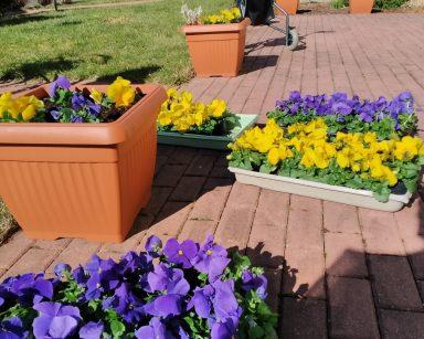 Na patio z czerwonej kostki brukowej stoją brązowe donice z żółtymi i fioletowymi bratkami oraz plastikowe pudełka z sadzonkami bratków. W tle widać przeszklony fragment korytarza ogrodu zimowego