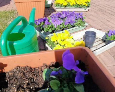 Na patio z czerwonej kostki brukowej stoją brązowe donice z żółtymi i fioletowymi bratkami, zielona plastikowa konewka oraz plastikowe pudełka z sadzonkami bratków