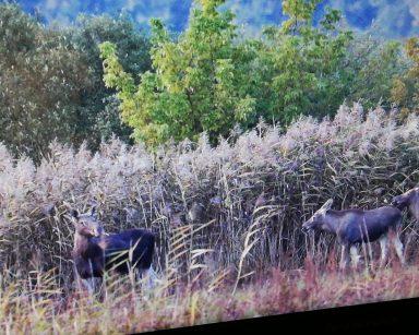Ekran projektora. Krajobraz, słoneczny dzień. Młode łosie, czyli łoszaki w trakcie spaceru na łonie natury.