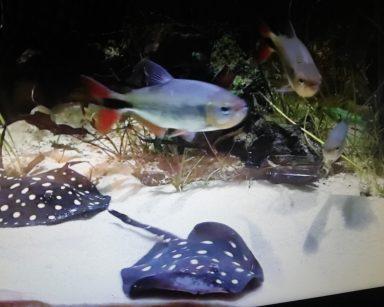 Podwodny krajobraz. Pływające ryby. Obok dwie płaszczki.