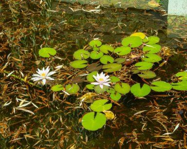 Staw. Na jego powierzchni zielone liście i białe lilie wodne.