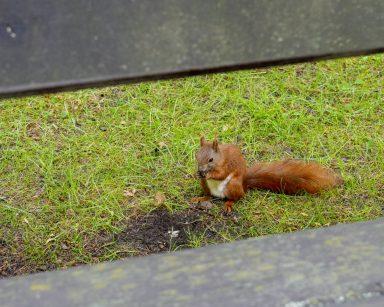 Na zielonym trawniku ruda wiewiórka.
